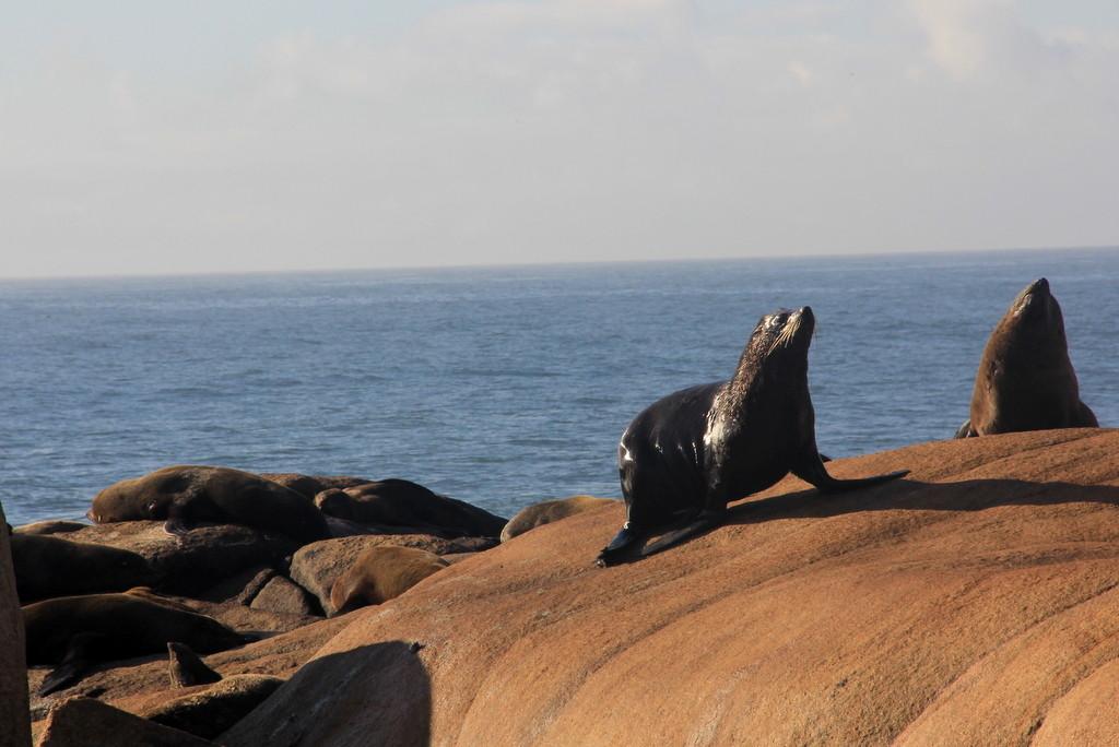 Loberia, Cabo Polônio. Conhecer os lobos marinhos de dois pelos, de preferência de manhã cedinho, é um passeio imperdível por este paraíso Uruguaio